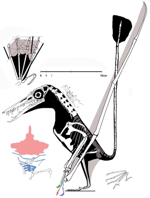 Unique among Rhamphorhynchus specimens, Rhamphorhynchus muensteri (Wellnhofer 1975) JME-SOS 4009, no. 62 in the Wellnhofer catalog has a long digit 4.