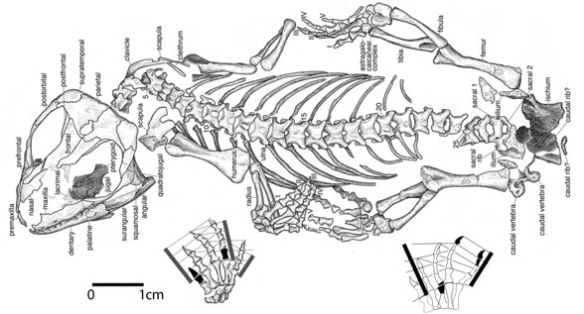 Figure 1. Sauropareion in situ from MacDougall et al 2013.