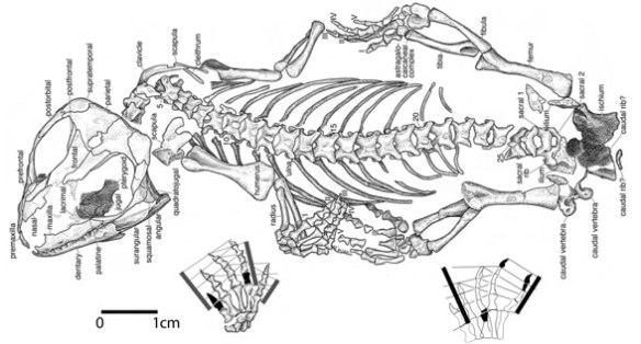 Figure 1. Sauropareion in situ from MacDougall et al 2013.