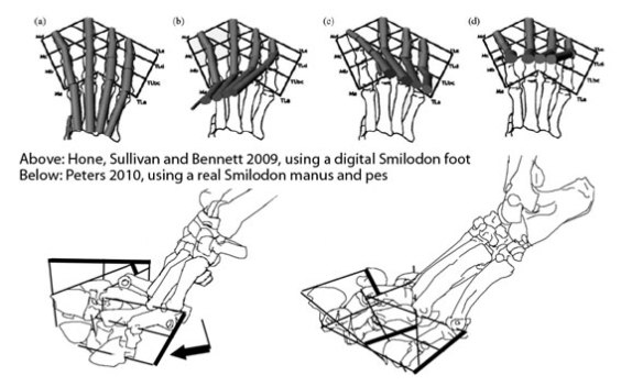 Figure 1. Above: A digital Smilodon pes created by Hone, Sullivan and Bennett. This is a poor substitute for a tracing of the real Smilodon manus and pes, with naturally flexed and extended phalanges and complete PILs added. Lesson: try to avoid digital models until the accuracy rises to the occasion.
