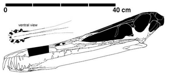 Figure 1. Cearadactylus atrox.