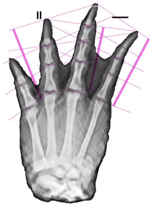 Figure 3. Radiograph of Alligator foot with PILs (parallel interphalangeal lines) added. Hone and Bennett tried to argue against the presence of PILs but did not have the nerve to show a foot with more than three toes.