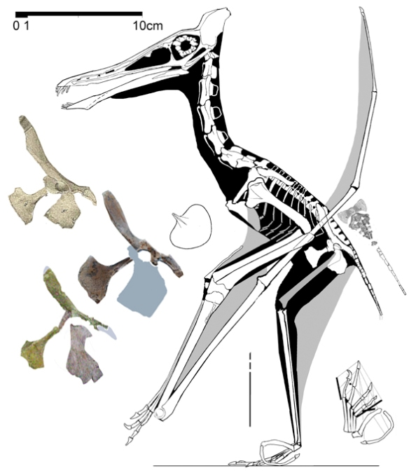 Figure 3. Cycnorhamphus to scale with enlarged pelvis (at left) and two pelves attributed to P. grandipelvis to scale.