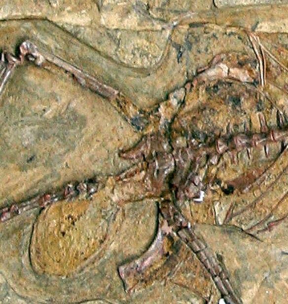 Figure 1. Darwinopterus pelvic area in situ.