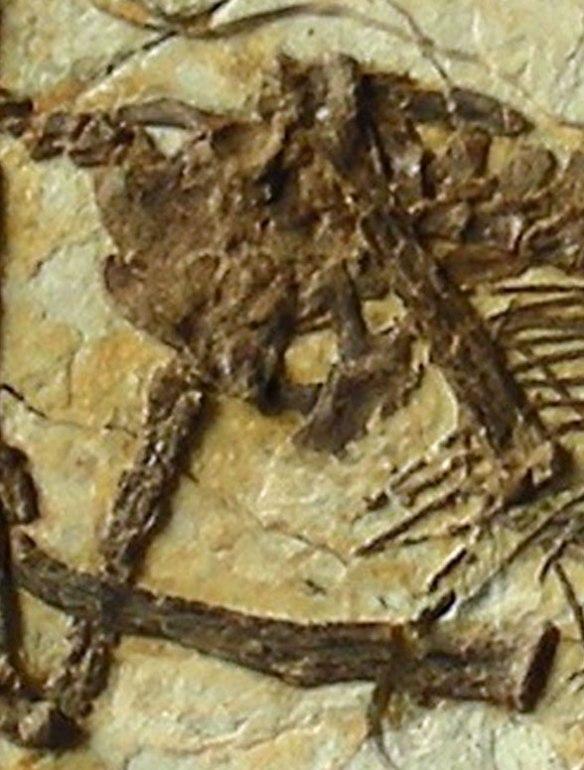 Figure 1. The pelvic area of Darwinopterus robustodens in situ.