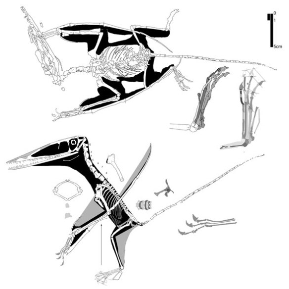 Figure 5. In situ and reconstruction of the YH2000 specimen of Darwinopterus.