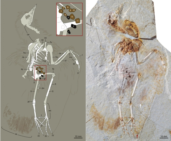 Figure 1. From Chiappe et al. 2014 showing the fossil (at right) and the digital tracing (at left).