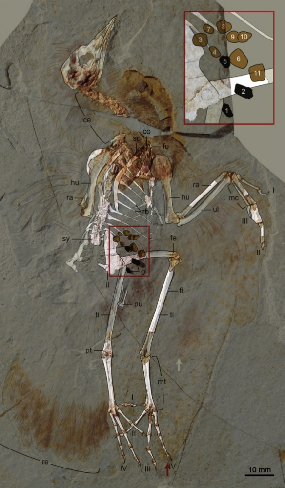 Figure 2. The two images of Hongshanornis superimposed to show the exactness this tracing technique produces, plus color, plus enlargements, etc. etc.