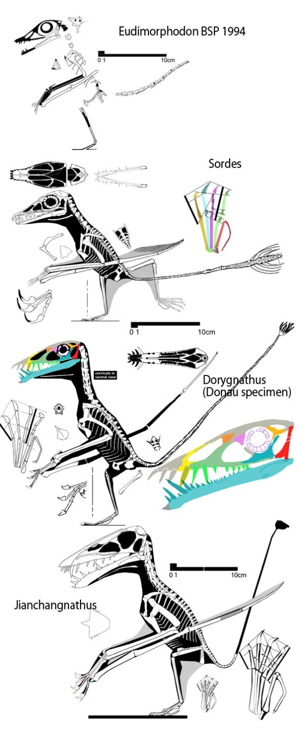 Figure 1. Evolution at the base of Dorygnathus. Top: the BSP 1994 specimen assigned (erroneously) to Eudimorphodon. Top middle: Sordes. Bottom middle: Dorygnathus. Bottom: Jianchangnathus, a basal dorygnathid at the base of Wukongopteridae and Scaphognathia.