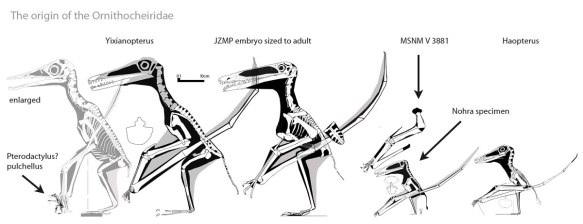 "Figure 1. Click to enlarge. The origin of the Ornithocheiridae begins with tiny  ""Pterodactylus"" pulchellus and continues with the much larger Yixianopterus and the hypothetical adult to the JZMP embryo. Then a size reduction (or is it a juvenile?) to the Nohra Lebanon pterosaur followed by Haopterus, itself about seagull-sized. Thereafter ornithocheirids get larger."