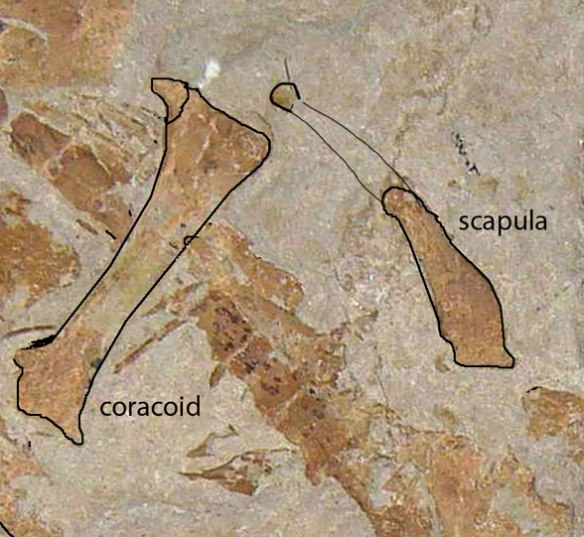 Figure 1. Tracing the coracoid and scapula on the fossil. Note the scapula is way to short. The proximal knob, otherwise just a piece of bone here, is identified.