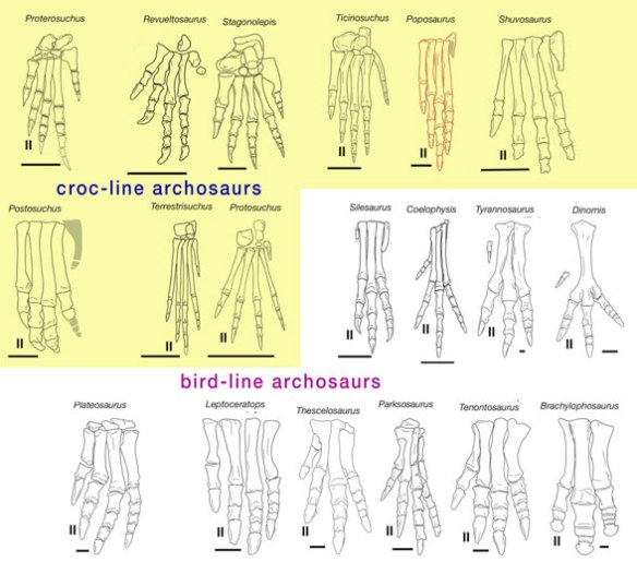 Figure 1. Archosaur feet divided into traditional croc-line and bird-line clades