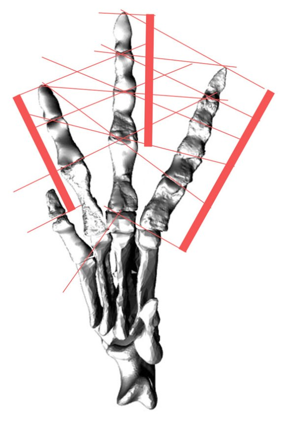 Figure 2. When you splay the digits of Poposaurus just a little bit more, the transverse PILs become complete and uninterrupted. This, then, is the most likely configuration of the pes.