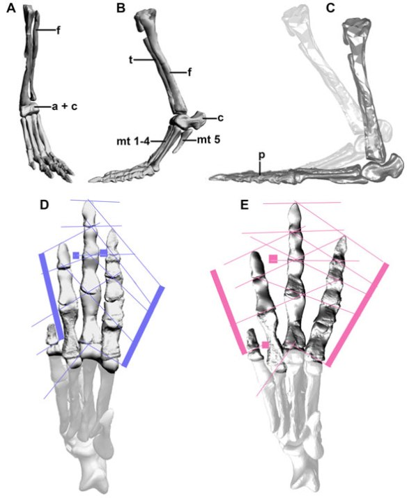 Figure 1. From Farlow et al. 2014) showing the Poposaurus foot in plantigrade and digitigrade poses. In the ghosted addition I added a digitigrade configuration, but so high as in the Farlow examples. In any case, digit 1 impresses, but shares no PILs, so it acts as a vestige, no longer part of the phalangeal sets.