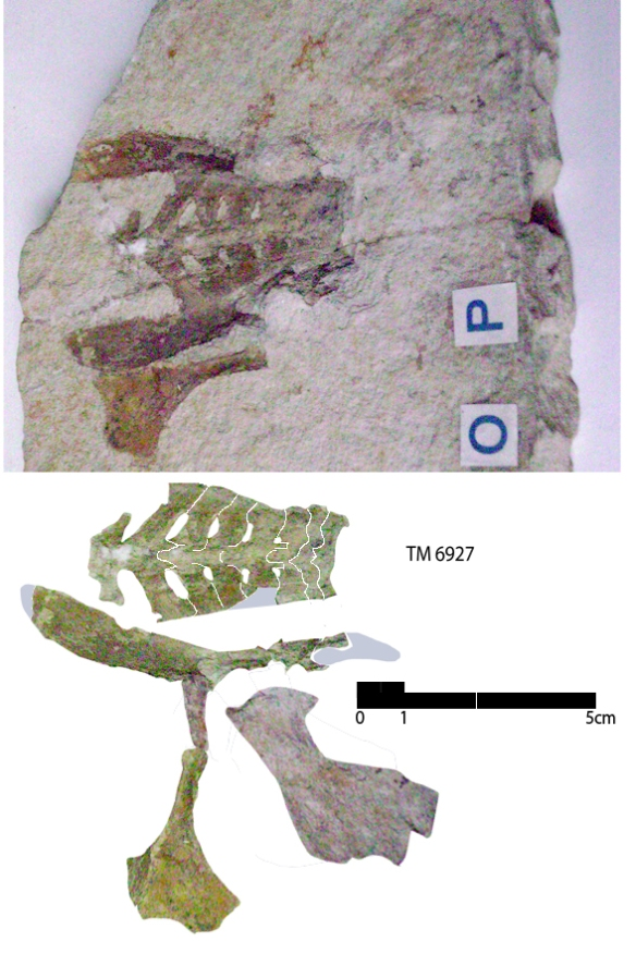 Pterodactylus grandipelvis holotype.