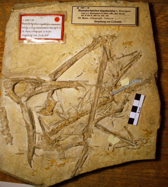 Figure 1. Rhamphorhynchus megadactylus in situ. Can you find the pelvis and prepubis here? How about both coracoids?