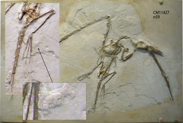 Figure 1. The CM 11427 specimen of Rhamphorhynchus. Two closeups focus on an elliptical shape that, although composed entirely of matrix, is the right shape and size for an egg. This specimen has been known for several decades, first described by Koh 1937.