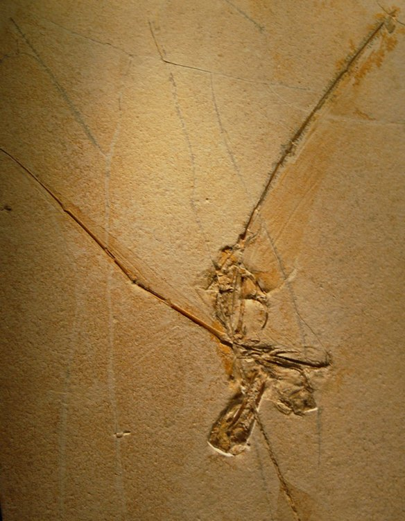 Figure 1. The Edinburgh specimen of Rhamphorhynchus, as if a Jurassic truck had just run over it.