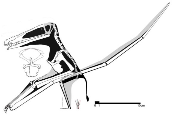 Figure 1. a basal ornithocheirid, undescribed, from Lebanon.