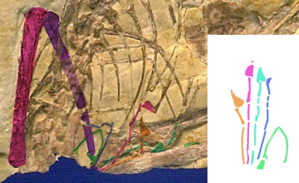 Figure 2. Scaphognathus pedal elements highlighted in color. These are difficult to distinguish from gastralia.