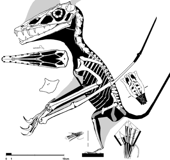 Figure 3. New reconstruction of Scaphognathus with the new foot and wing phalanges added.