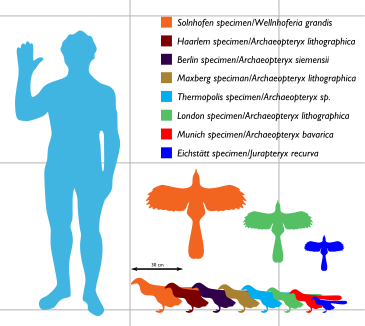 Figure 1. Archaeopteryx size graphic from Wikipedia.