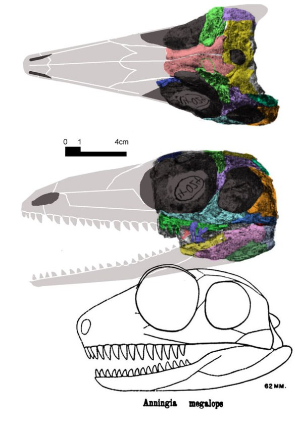 Figure 1. Anniningia megalops as illustrated by Romer and Price 1940 (below) and in two views from Reisz and Dilkes 1992 with elements colorized and hypothetical rostrum and jaws added.