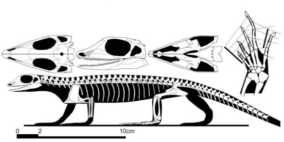 Figure 2. Archaeovenator, a smaller relative of Anningia, itself a synapsid outgroup to the Diapsida.