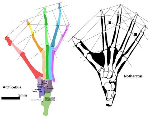 Figure 3. The reconstructed foot of Archicebus alongside that of the basal lemur, Notharctus. Note the gathering of metatarsals 2-4, as in tarsiers.