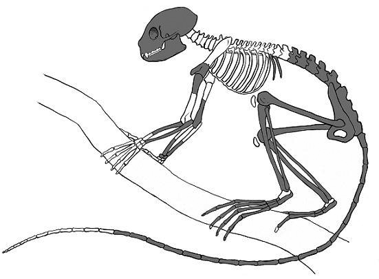 Figure 1. Archicebus is close the ancestry of tarsiers and monkeys. It retained a lemur-like foot,