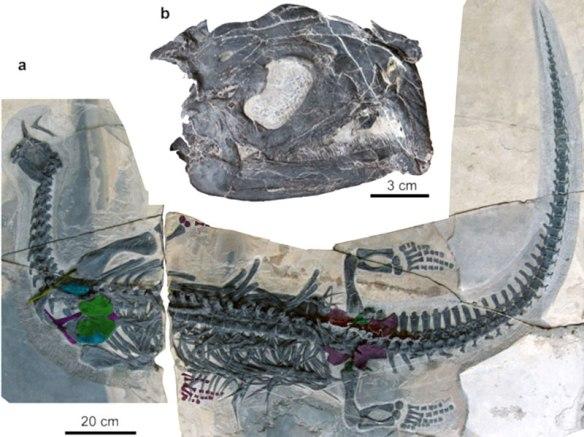 Figure 1. Atopodentatus unicus, early Middle Triassic sister to Claudiosaurus and Largocephalosaurus.
