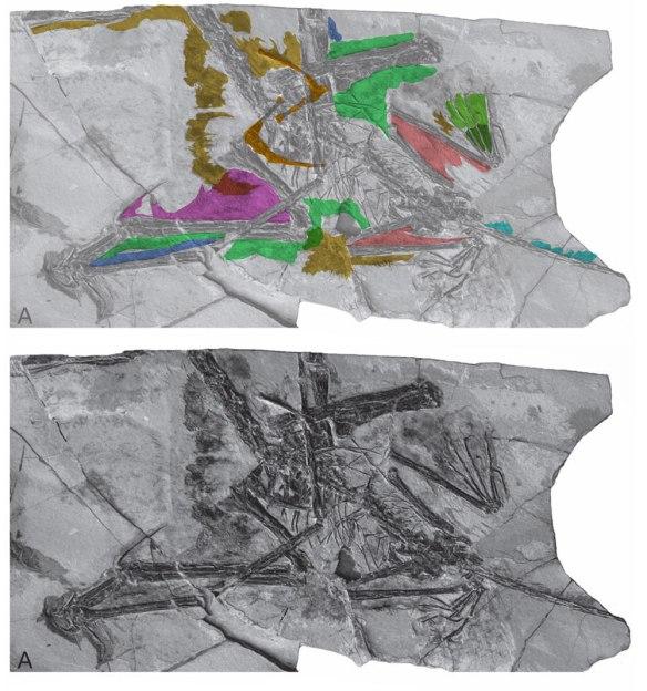 Figure 1. PMOL specimen referred to Changchengopterus. Soft tissue colorized.