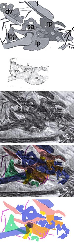 Figure 4. PMOL specimen pelvis. Top: original interpretation with fused puboischium. Middle lowrez photo from paper. Adding color overlays to identify bones reveals a longer prepubis and split puboischium.