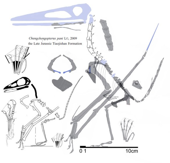 Figure 1. Left: the holotype of Changchengopterus. Right: The larger referred specimen that does not nest with Changchengopterus. The similarities are uncanny, but phylogenetic analysis broadly separates these two despite the missing skulls.