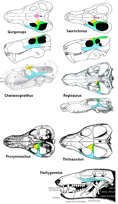 Figure 1. Several gorgonopsids and cynodonts along with a single therocephalian documenting the disappearance of the postorbital and postfrontal. Pink is the pre parietal, absent in cynodonts. Yellow = prefrontal. Green = postorbital. Blue = jugal.