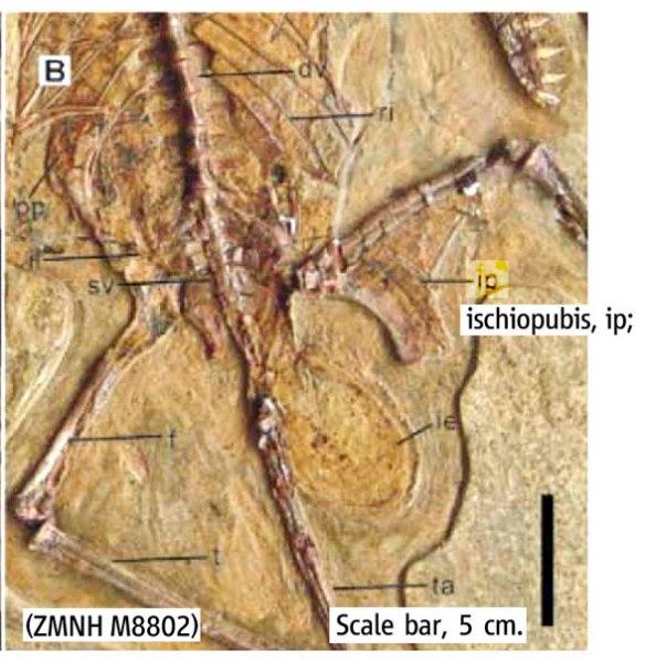 Figure 2a. Original identification by Lü et al. 2011a) of puboischium in Darwinopterus.