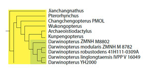Figure 2. Subset of the large pterosaur tree showing relationships among Darwinopterus and its predecessors among the Wukongopteridae and their predecessors.