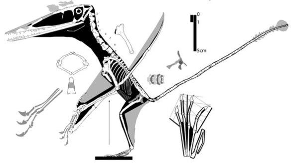Figure 3. Darwinopterus YH2000 specimen.