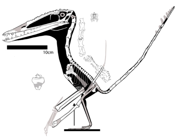 Figure 5. Darwinopterus ZMNH 8782. A taller specimen with a longer neck and larger skull.