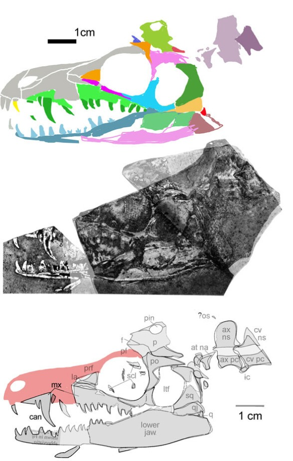 Figure 1. The new specimen referred to Elliotsmithia. It's the same size and shares many traits. In the original Elliotsmithia (Fig. 2) the posterior teeth appear larger. The part and counterpart are overlaid here. I'm guessing that the anterior lower dentary is buried here. Otherwise there would be no room for the next erupting tooth to develop.
