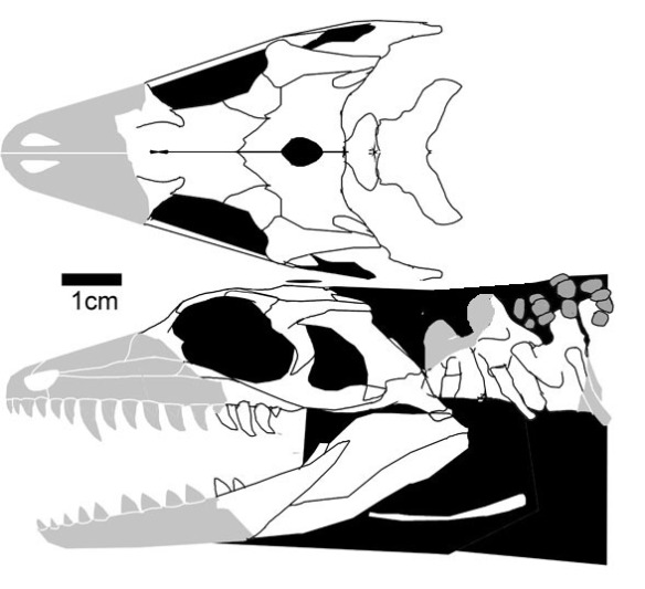 Figure 2. The type of Elliotsmithia. Those are really big teeth beneath the orbit. The pineal is more centrally placed. And the jugal appears to lean in more.