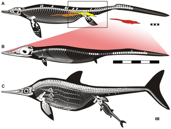 Figure 2. Ichythosaur mothers and embryos from Motani et al. 2014. Red tint added to Chaohusaurus embryo to show connection. Lower derived ichthyosaur is Stenopterygius .