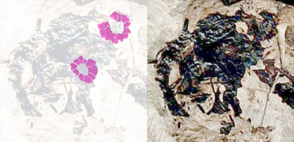 Figure 4. Click to enlarge. Sclerotic rings on Jeholopterus.