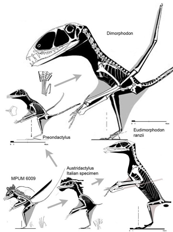 The origins of Dimorphodon and Eudimorphodon find a common ancestor close to Austriadactylus (the Italian specimen) and prior to that, the basal pterosaur, MPUM 6009. All are Late Triassic except Dimorphodon. The robust skull of eudimorphodontids suggests piscatory (fish eating) while the fragile skulls of dimorphodontids suggests insectivore. The enlarged naris was a legacy from the Italian specimen