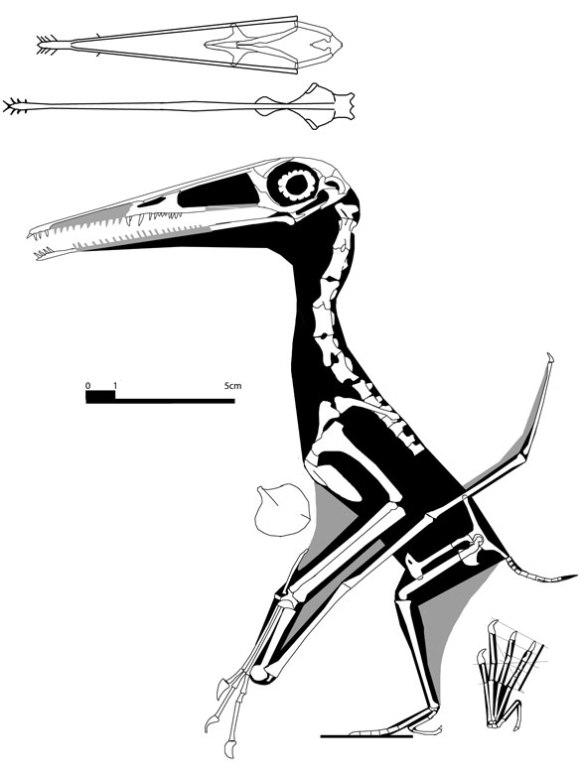 "Figure 2. ""Rhamphodactylus"" reconstruction. While it looks like a Pterodactylus, it nests between Dorygnathus and protoazhdarchids."