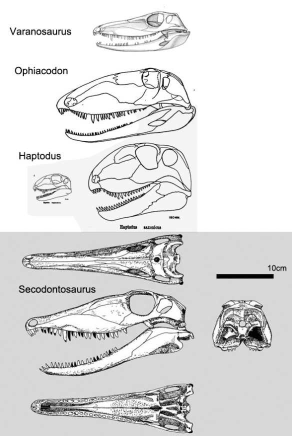 Figure 1. Secodontosaurus and its ancestors going back to Varanosaurus. Secodontosaurus is the only sphenacodont with a varanopid-like skull.