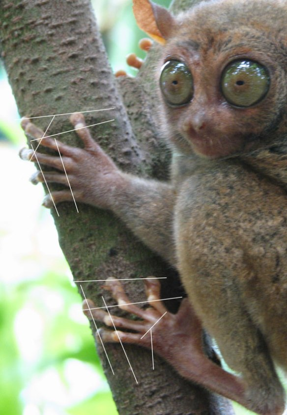 Figure 6. The tarsier foot and PILs are shown in action at right angles to the tree cylinder and parallel to the long axis. The use of pads appears to change the way the foot operates, without the strong PILs a grasping or walking foot has.
