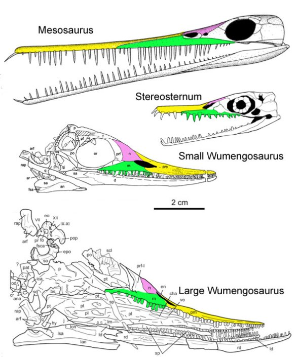 Figure 2. Wumengosaurus in small and large varieties along with Stereosternum and Mesosaurus to scale.