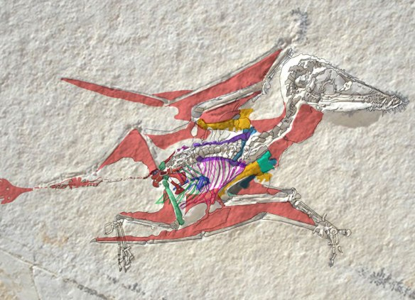 Figure 2. Click to enlarge. Private tiny pterosaur #2042. Select areas colorized. Once again, those wing membranes do not connect to he tibia. The indigo business in the gut might be a prepubis, but that would mean there were three prepubes in there. Otherwise it might be an embryo.