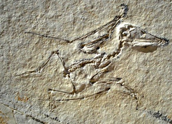 Figure 1. Tiny private pterosaur. These had been considered juveniles, but this one nests at the base of the ctenochasmatidae.